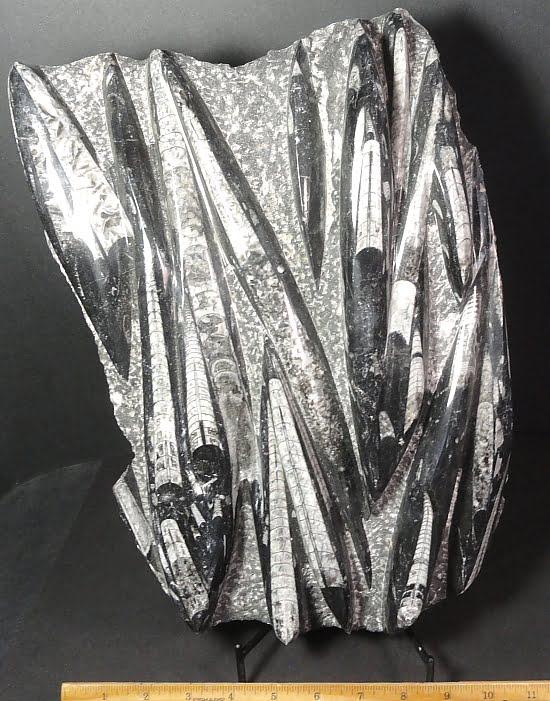Orthoceras fossil specimens cut into a free form plaque