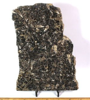 Turritella Agate slab cut from material from south central Wyoming