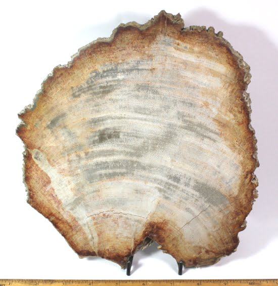 Petrified Wood Slab from Indonesia