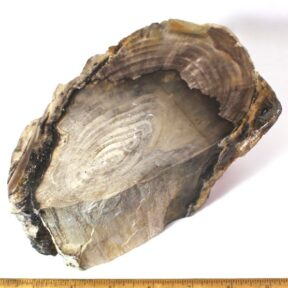 Petrified Wood from Oregon